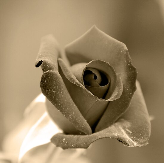 Sepia Rose by Igor Shrayer