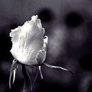 White Rose - Infrared Effect by Igor Shrayer