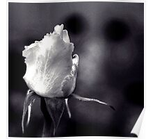 White Rose - Infrared Effect Poster