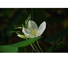 White Mandaara Flower Photographic Print