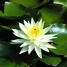 Waterlily, Mt Sugarloaf, NSW by Alison Howson