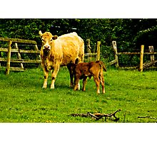 Mother & Calf Photographic Print
