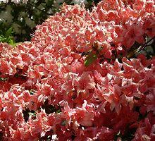 Azaleas at the Kinney Garden - © May 2010 by Jack McCabe