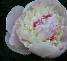 Wonderful peony by Maria1606
