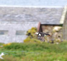 puffin past a distant church by Grandalf