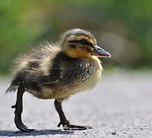 Chick on the war path by Darren Bailey LRPS