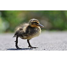 Chick on the war path Photographic Print