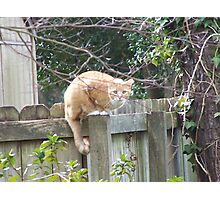 Cat Cautiously Watching From Fence Post Photographic Print