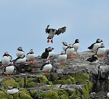 """puffin """"Ok you lot, volcanic ash or not, I'm still going"""" by Grandalf"""