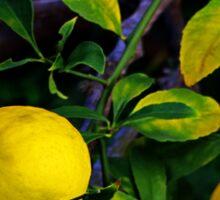 Winter Lemons Sticker