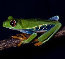 Red Eyed Tree Frog by Regenia Brabham