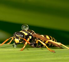 PAPER WASP by Sandy Stewart