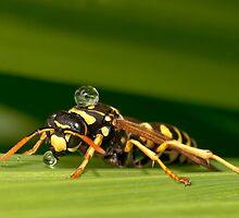 PAPER WASP by Sandy Stewart