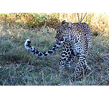 Leopard Ready to Hunt Photographic Print