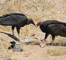 New World Vultures ~ Turkey & Black Vulture by Kimberly Chadwick