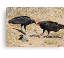 New World Vultures ~ Turkey & Black Vulture Canvas Print