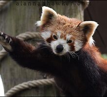 Waving Red Panda by Alannah Hawker