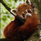 Red Panda 01 by Alannah Hawker