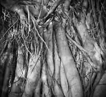 fig tree roots - fern pool, karijini by col hellmuth