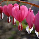 Bleeding Hearts by Rusty Katchmer