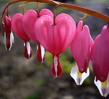 Bleeding Hearts by Rusty Katchmer