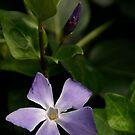 Purple Pinwheel by Kirstyshots