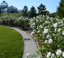 Lewis Ginter White Rose Garden   ^ by ctheworld