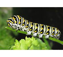 Swallowtail In Training Photographic Print