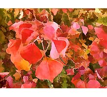 Chinese Tallow tree leaves in Autumn Photographic Print