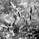Grass Stalks in Black and White by Edward Myers