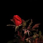 Eternal Love - A Rose in November by Tony Wilder