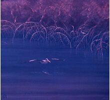 Mangrove Pelican Photographic Print