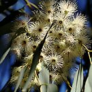 Flowering Gum by Joy Watson
