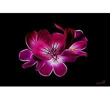 Geranium Photographic Print