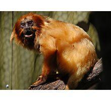 Golden-Lion Tamarin (Leontopithecus rosalia) Photographic Print