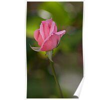 Pink rose, my garden Poster
