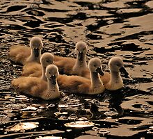 Swan - The Cygnets  by delros