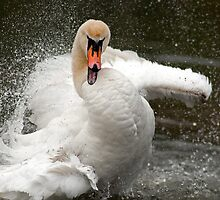 More swan attitude ! by Darren Bailey LRPS