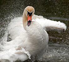 More swan attitude ! by Darren Bailey LRPS
