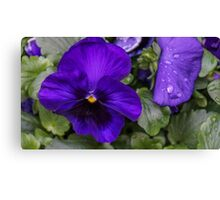 Purple Pansy in Full Bloom Canvas Print