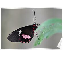 Resting butterfly  Poster