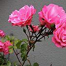 Sidewalk Roses by Barbara Wyeth