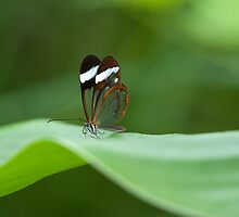 Glasswing Butterfly by Darren Bailey LRPS