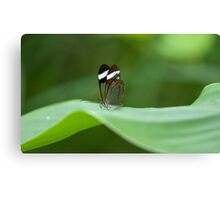Glasswing Butterfly Canvas Print