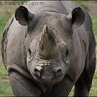 Black Rhino 01 by Alannah Hawker