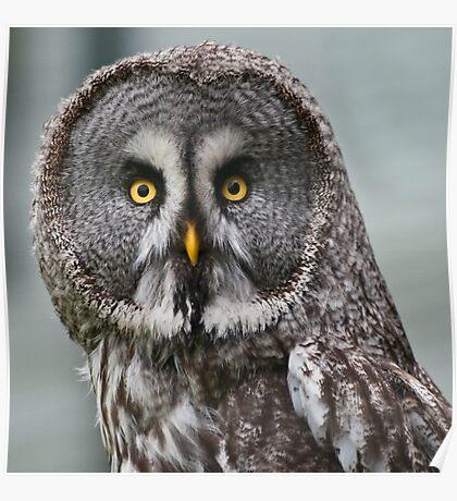 Great Grey Owl (Strix nebulosa) Poster