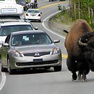 Bison Drive - Yellowstone National Park by JamesA1