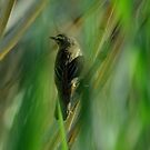 Warbler by Russell Couch