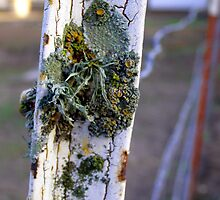 Lichen on Post by Renee D. Miranda