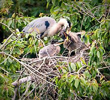 Feeding Time at the Heron Rookery by David Friederich